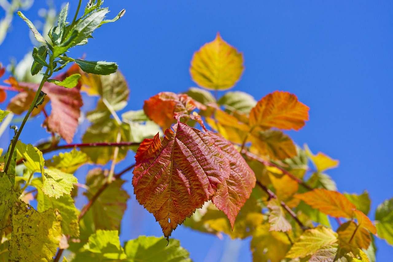 feuilles de framboise rouge