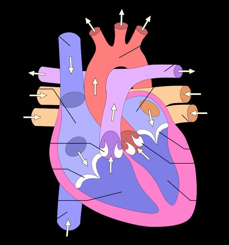 composition du coeur humain