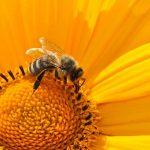L'abeille domestique affiche une grande particularité génétique