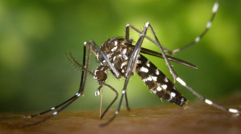 Le Leptolegnia chapmanii pour lutter contre le chikungunya et la dengue